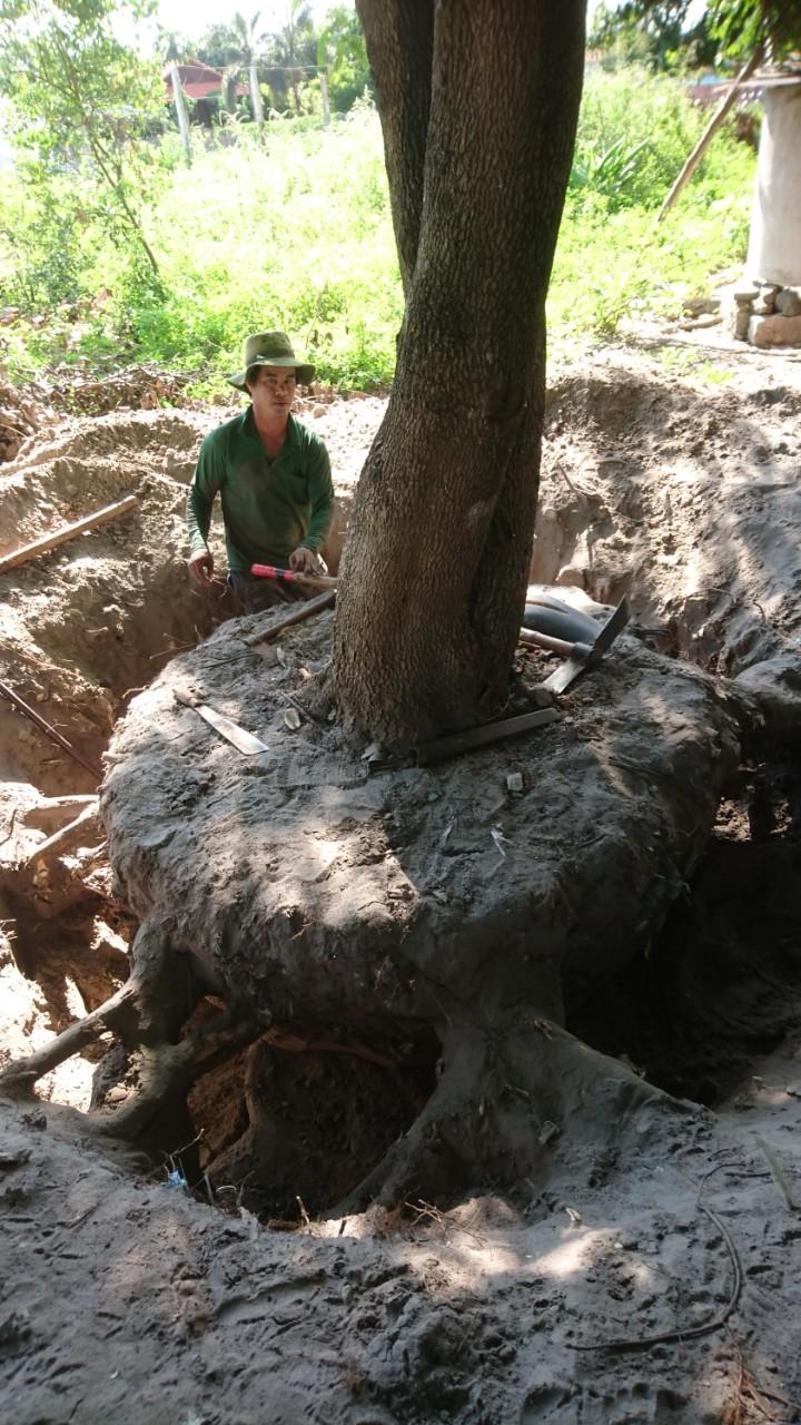Dịch vụ đào cây kiểng phú mỹ